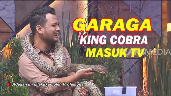 Ular King Kobra Garaga Ditawar Rp 350 Juta, ini Reaksi Panji Petualang