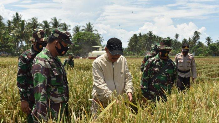 Hasil Pendampingan Kodim Polmas, Petani Desa Kebun Sari Panen Padi Organik