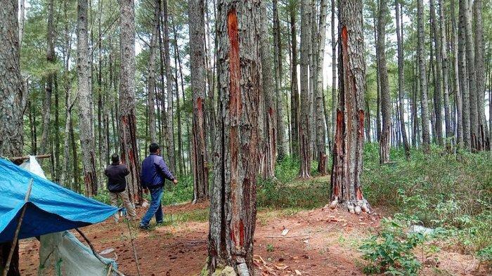 Disadap secara Brutal, Ratusan Pohon Pinus di Tando-tando Tana Toraja Terancam Mati