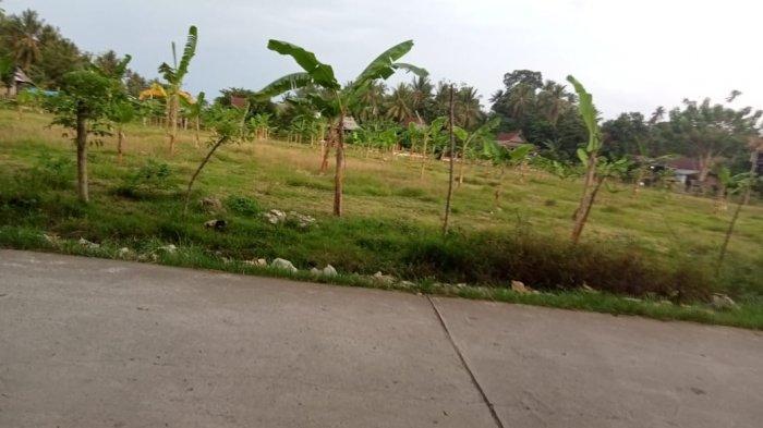 Klaim Tanah Warisan Leluhurnya, Hafid Tanam Pisang di Lapangan Sepak Bola Desa Nepo Polman