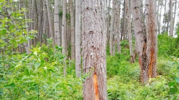 Sudah Tiga Kali Curi Getah Pohon Pinus di Tana Toraja, Tarbe Malah Dibebaskan Polisi