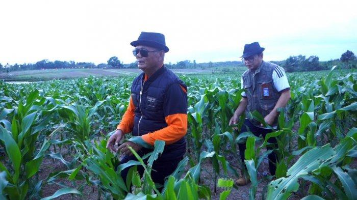 FOTO; Bupati Enrekang Berdayakan 20 Hektar Lahan Tidur - muslimin-bando-memperlihatkan-lahan-jagung-yang-menjadi-destinasi-agrowisata-1.jpg