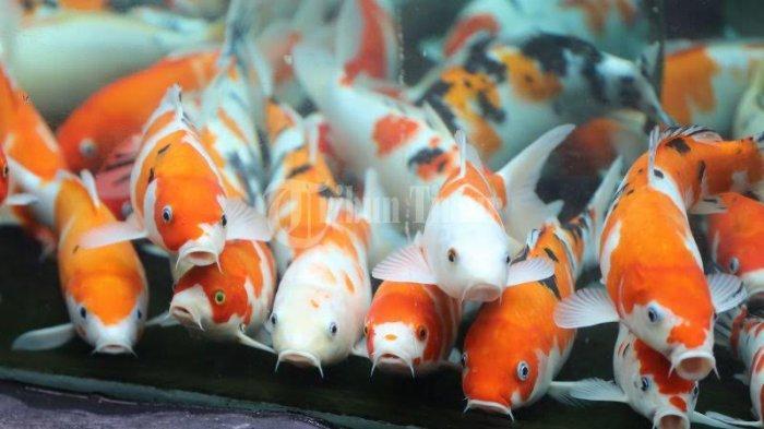 FOTO; Ikan Koi Jadi Daya Tarik Pengunjung di Reza Cafe - niar-melihat-ikan-koi-yang-berada-di-akuarium-reza-cafe-yang-terletak-di-jl-hertasning-3.jpg