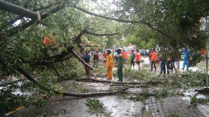 Pohon Beringin Tumbang di Sengkang Wajo, Timpa Mobil dan Bentor