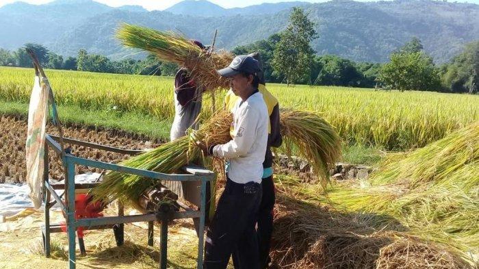 Kabupaten Bogor Panen Raya Padi di Tengah Wabah Corona