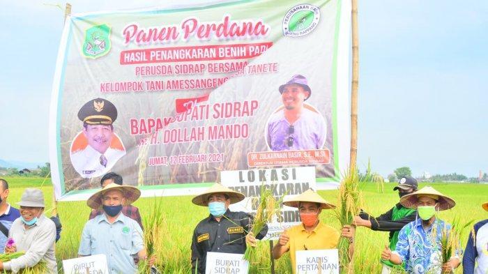 Perusda Sidrap Panen Padi Perdana, Hasilnya 8,8 Ton Per Hektare Sawah