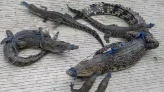 Mangsa Warga, Buaya 5 Meter Beserta 10 Ekor Anaknya Ditangkap Warga di Mamuju Tengah