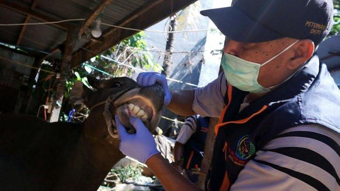 FOTO: Petugas Melakukan Pemeriksaan Hewan Kurban Jelang Iduladha - pemeriksaan-mulut-sapi-1.jpg