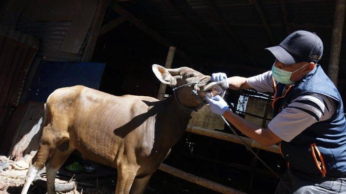 FOTO: Petugas Melakukan Pemeriksaan Hewan Kurban Jelang Iduladha - pemeriksaan-mulut-sapi-2.jpg