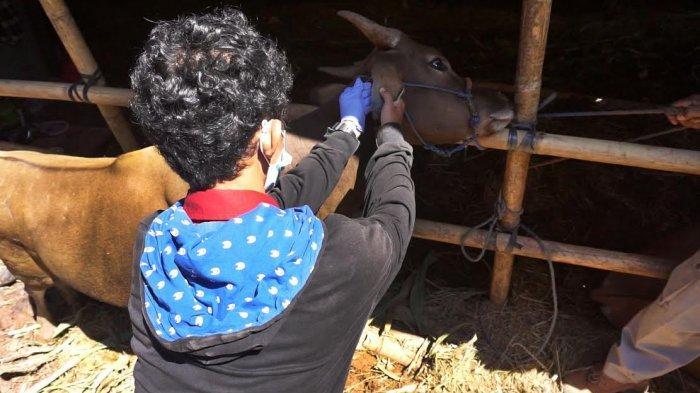 FOTO: Petugas Melakukan Pemeriksaan Hewan Kurban Jelang Iduladha - pemeriksaan-mulut-sapi-3.jpg