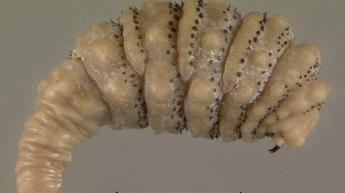 Penampakan Larva Lalat