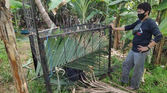 Macaca Maura Berkeliaran di Desa Borimasunggu Maros, Serang Anak-anak dan Perempuan