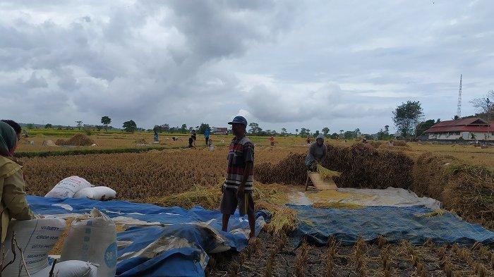 Pasokan Air Seret, Hasil Panen Padi Petani di Bantaeng Turun