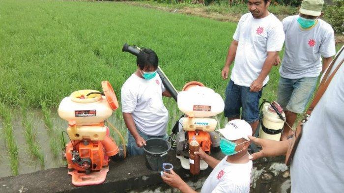 Petani di Luwu Timur Manfaatkan Urin Sapi Jadi Obat Pengusir Hama Tikus dan Pupuk Organik