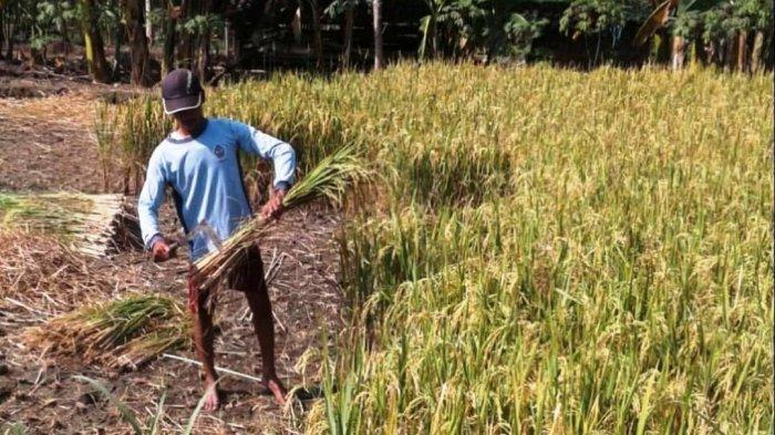 Sambung Menyambung Padi-Padi-Padi, Setelah Panen Raya, Kelompok Tani Gunungkidul Bersiap Tanam Lagi - petani-ramai-ramai-panen-raya-musim-tanam-ketiga-atau-tanam-di-musim-kemarau.jpg