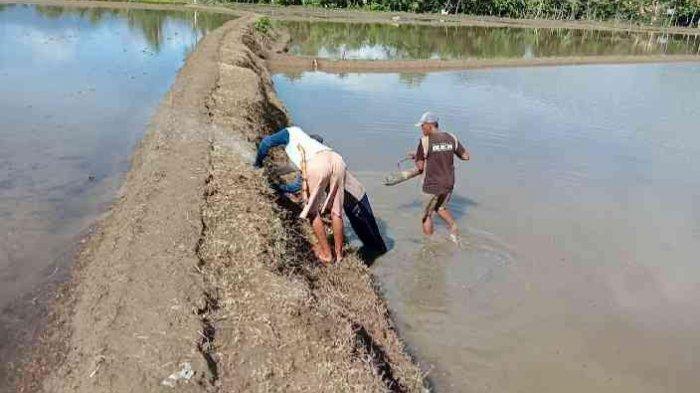Musim Tanam, Petani Sawah di Lamasi Luwu Keluhkan Kelangkaan Pupuk Bersubsidi