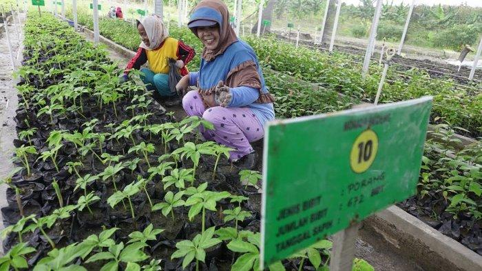 FOTO; Budidaya Tanaman Porang di Sidrap - petani-sedang-melakukan-budidaya-tanaman-porang-yang-terletak-di-bendoro-1.jpg
