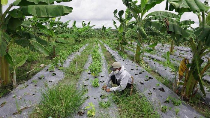 FOTO; Budidaya Tanaman Porang di Sidrap - petani-sedang-melakukan-budidaya-tanaman-porang-yang-terletak-di-bendoro-2.jpg