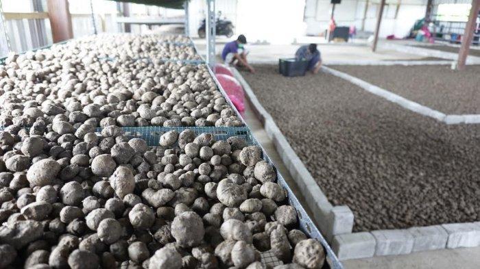 FOTO; Budidaya Tanaman Porang di Sidrap - petani-sedang-melakukan-budidaya-tanaman-porang-yang-terletak-di-bendoro-3.jpg