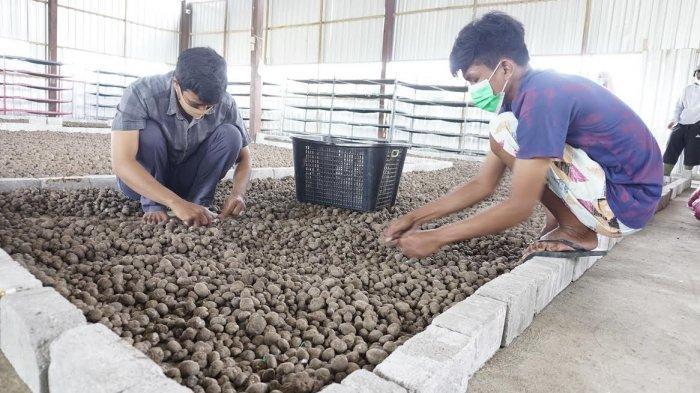 FOTO; Budidaya Tanaman Porang di Sidrap - petani-sedang-melakukan-budidaya-tanaman-porang-yang-terletak-di-bendoro-4.jpg