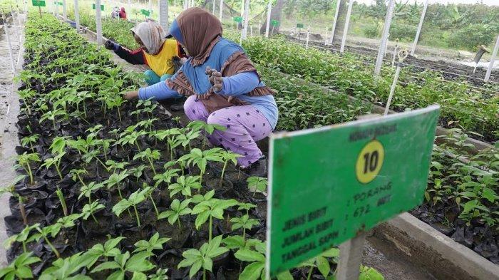 FOTO; Budidaya Tanaman Porang di Sidrap - petani-sedang-melakukan-budidaya-tanaman-porang-yang-terletak-di-bendoro-5.jpg