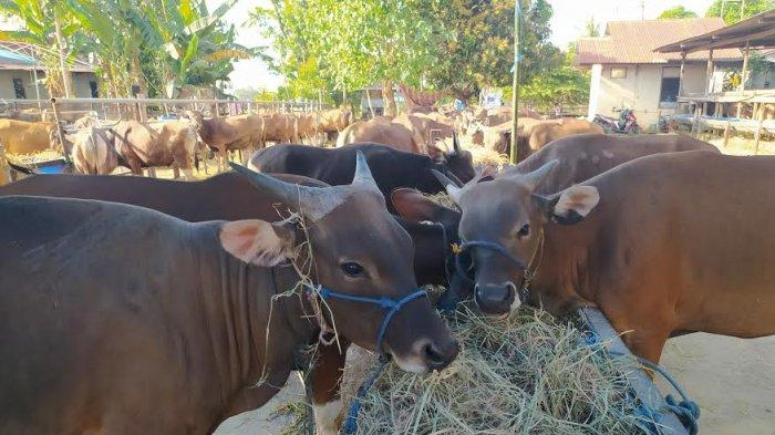 Pemkab Maros Siapkan 700 Kupon Daging Kurban untuk Warga Kurang Mampu