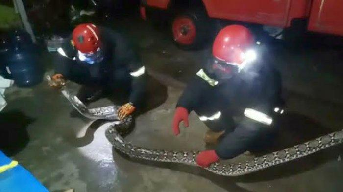 Ular Sanca 4 Meter Geger Warga Perumahan Nelayan di Palopo