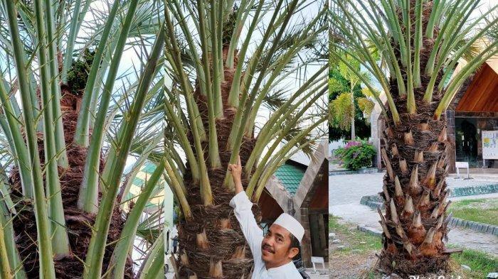 Pohon Kurma Tumbuh Subur dan Berbuah di Selayar, di Sini Tempatnya