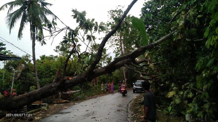 Hujan Deras Disertai Angin Kencang di Bantaeng, Satu Pohon Tumbang di Desa Kaloling