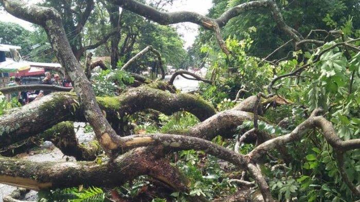Pohon Tumbang Timpa Warga di Malino, Begini Reaksi Gerindra