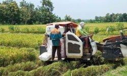 Harga Gabah di Barru Kembali Anjlok, Kini Jadi Rp 4.100 Per Kilogram