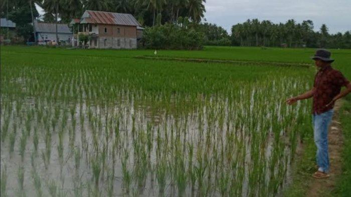 Pupuk Langka, Petani Kecamatan Mapilli Polman Minta Perhatian Pemerintah