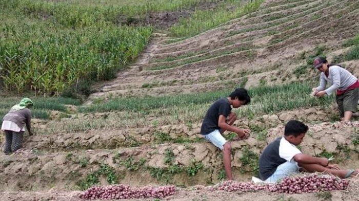 Bawang Merah Enrekang Tumbuh Subur di Mamasa