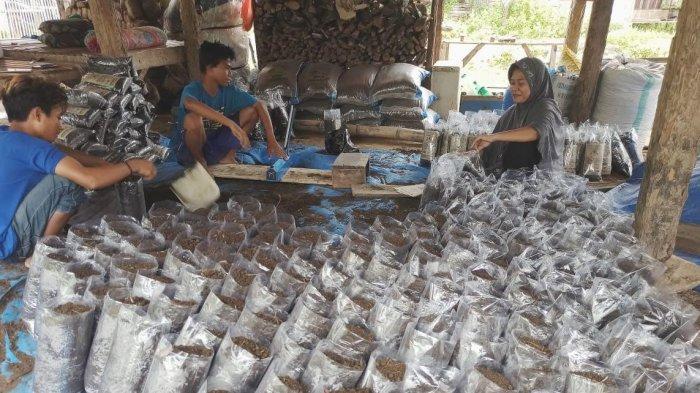Pertanian Tak Ingkar Janji, Petani Milenial Maros Sukses Kembangkan Usaha Jamur Tiram