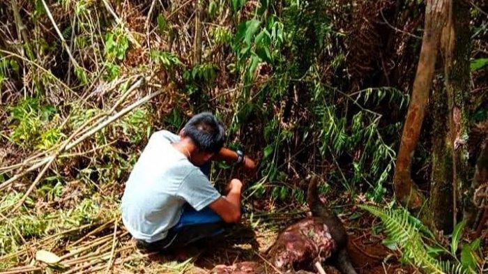 Kerbau Seharga Rp30 Juta di Rindingallo Toraja Utara Dicuri, Saat Ditemukan Sisa Kepala dan Jeroan