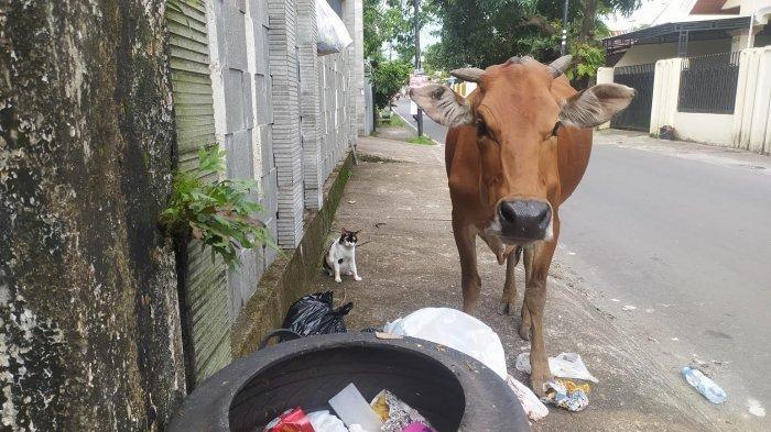 Banyak Sapi Makan Sampah di Makassar, Ini Dampaknya Menurut Pakar Kesehatan Unhas