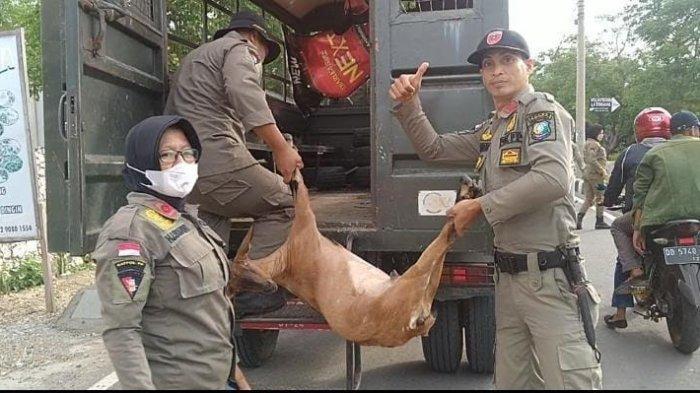 Satpol PP Bulukumba Tangkap Empat Kambing di Tanjung Bira, Pemilik Bakal Didenda Rp500 Ribu