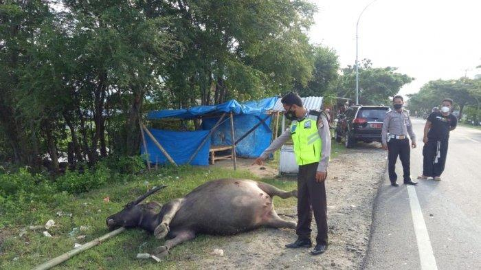 Mobil Dinas di Majene Tabrak Kerbau Hamil Hingga Mati, Pemilik Ternak Rugi Rp 50 Juta