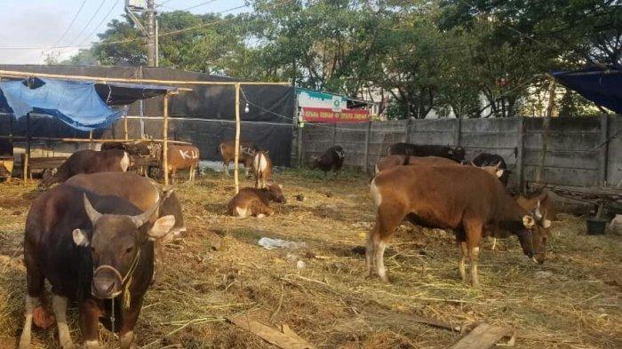 Jelang Idul Adha 1442 H, Segini Harga Sapi di Kabupaten Gowa