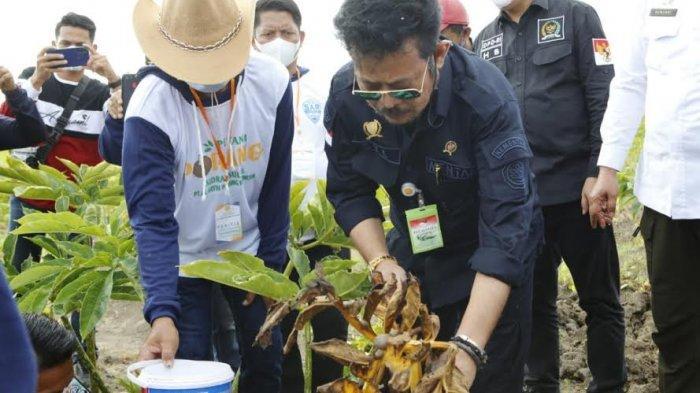 Bersama Kelompok Tani Semangat Milenial, Mentan Syahrul Yasin Limpo Panen Porang di Sidrap