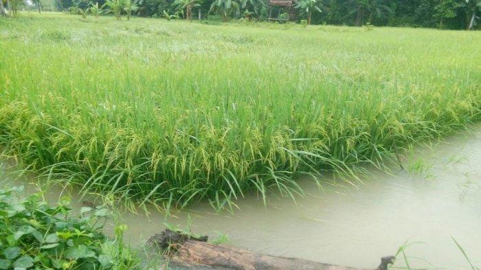 ASN Jeneponto Kuasai Tanah Pemda Selama 11 Tahun, Sekali Panen Dapat 200 Karung Gabah
