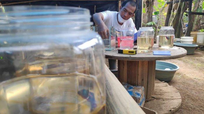 KCM Bikin Salon Khusus Ikan Cupang yang Ingin Ikut Kontes, Biaya Cuma Rp 25 Ribu