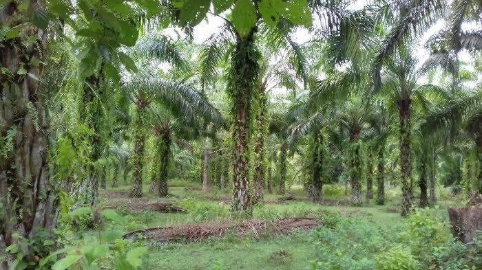 Harga TBS Kelapa Sawit Rp 1.610 Per Kg, Petani Luwu Utara: Alhamdulillah