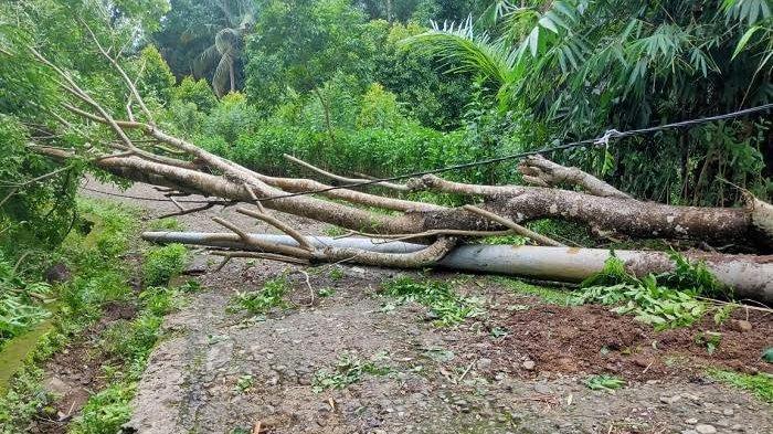 Dampak Angin Kencang, Baharuddin Tewas Tertimpa Pohon Jati di Sinjai