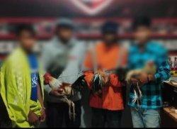 Resmob Polres Tana Toraja Tangkap 4 Pelaku Judi Sabung Ayam di Saluputti