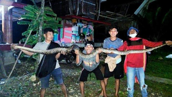 Warga Pa'gasingan Tana Toraja Tangkap Ular Piton 3 Meter