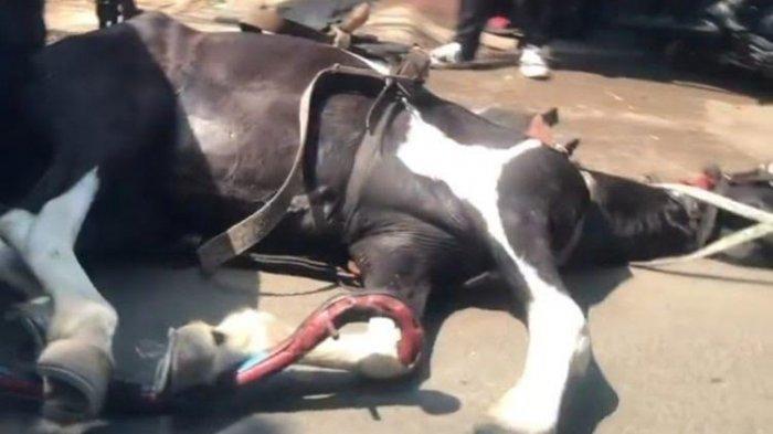 VIDEO Viral Kuda Penarik Delman Terkapar dan Kejang-kejang di Jalan saat Cuaca Panas Terik