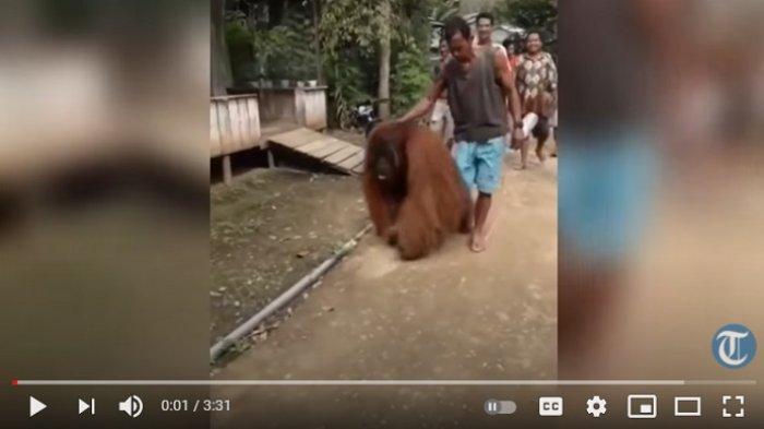 VIRAL Video Orangutan Masuk Permukiman, Nampak Lelah dan Kelaparan, Akhirnya Diberi Makan oleh Warga