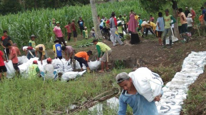 Warga Salekoe Luwu Utara Terancam Gagal Panen Jagung