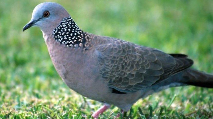 Ini 7 Tips Bikin Burung Perkutut Cepat Dan Pintar Berkicau Jangan Kelamaan Dijemur Tribun Timur